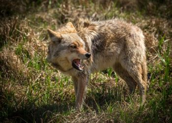 Clemson extension and SCDNR will hold a coyote control workshop Feb. 18