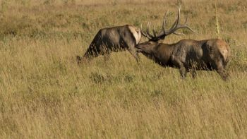 The NCWRC investigated last week's killing of 3 elk, and determined the killings were legal.