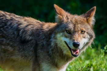 Lawmakers have proposed a $1000 bounty for tagged coyotes.