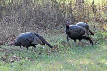 North Carolina's statewide turkey flock and its annual harvests may be about to reach their peak in the next year or two.