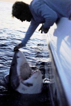 Capt. Chip Michalove of Outcast Sportfishing in Hilton Head and his angler caught this great white shark on March 8.