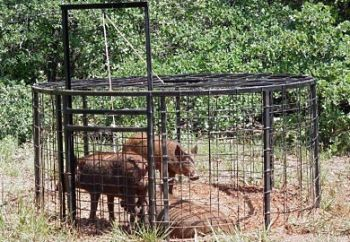 Wild hogs cause plenty of problems for property managers throughout the state.