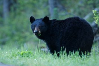 The NCWRC has approved temporary rules for black bear hunting.