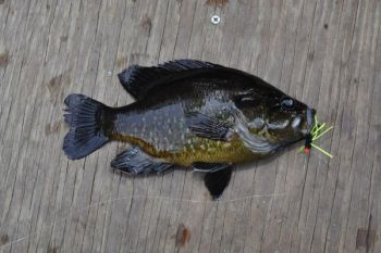 Warmouth are popular panfish for anglers who spend time on blackwater rivers in southeastern North Carolina.