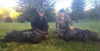 Cody Durham and Mitch Mincey killed these two 300+ pound hogs in Jackson County on a night hunt.