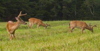 Bachelor groups of bucks will spend plenty of time in late summer working over food plots and agricultural fields, giving hunters a chance to learn their habits for early season hunts.