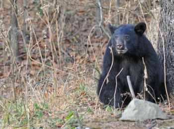 North Carolina's 2015 bear harvest saw an uptick of 20 percent over the 2014 season.