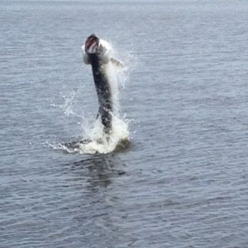 Tarpon are just one of a number of fish and game species that feed heavily during certain moon phases.