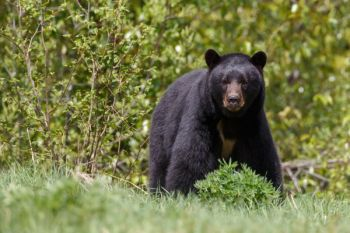 The NCWRC is hosting a series of meetings this month to discuss black bear management, and to get input from the public for future management ideas.