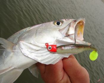 Speckled trout can tolerate waters with a wide range of salinities as long as food is readily available.