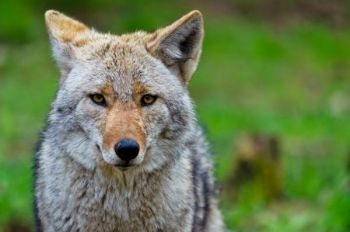 A coyote seminar is one of the many events being offered by the NCWRC at the Pisgah Center for Wildlife Education throughout the month of September.