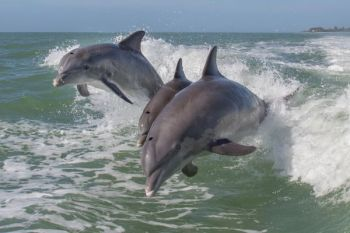 Tim Lovett of Higher Ground Outfitters captured this video of dolphins pushing fish onto shore, then beaching themselves in order to get a bite to eat.