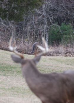 Photoperiod is the key to the timing of the deer rut, but other factors can speed up or slow down the arrival of bucks actively chasing does.