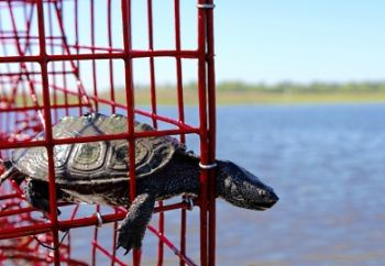 The SCDNR is looking for help from crabbers in designing a device that is made to reduce bycatches of turtles and other non-target species.