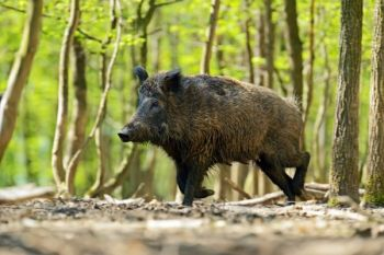 With an airgun, you can drop wild hogs like this in their tracks, as long as it's the right airgun.