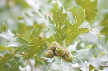 White oak acorns are No. 1 on a deer's list of favorite fall foods. Find the tree that's dropping the most nuts and hunt it.