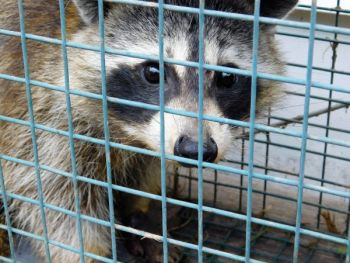 The NCWRC is hosting a trapping workshop on Oct. 29 at the Marion Fish Hatchery from 9 a.m. to 1 p.m.
