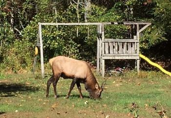This young bull elk has been spotted several times in Pickens County, and biologists are warning folks to give the animal plenty of space.