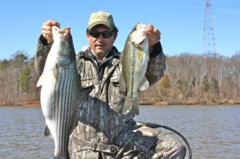 Striped bass and largemouths often show up in the same areas of shallow water at Kerr Lake in November.