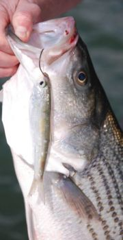 A big live bait is just the ticket for fishermen targeting striped bass on High Rock Lake this month.