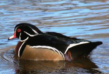 The NCWRC and Ducks Unlimited are offering three free waterfowl hunting seminars this month.