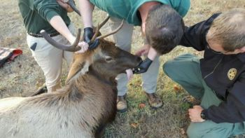 After this elk was spotted numerous times in an upstate town, the SCDNR moved it to a remote area in the mountains in hopes that it will stay out of harm's way.