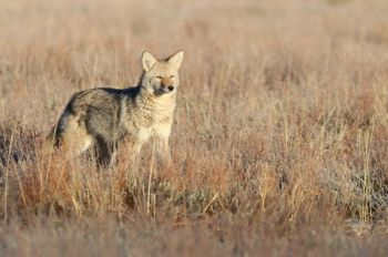 Help cut down on the coyote infestation at the 7th Annual WeHuntSC Predator Competition, which will be held March 3 – 5, 2017.