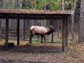 The misplaced Upstate S.C. elk is now part of Animal Forest exhibit at Charles Towne Landing State Historic Site, where it will remain quarantined until it's safe to mingle with the other animals.