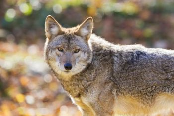 Coyotes kill turkeys, so the NWTF Granville County Chapter says