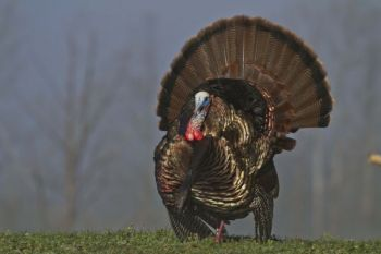 North Carolina and South Carolina hunters have reason for optimism going into this spring turkey season.