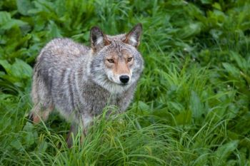 Despite some of the most liberal hunting regulations in the Carolinas, coyotes continue to be a problem in both states.