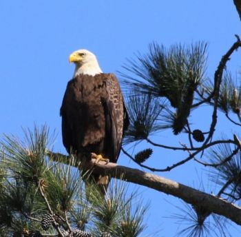 The NCWRC is looking for help in identifying the shooter of a bald eagle killed in Chatham County.