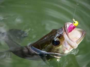Warm water from the Sutton Power Plant puts largemouth bass in a spring frame of mind throughout the winter.