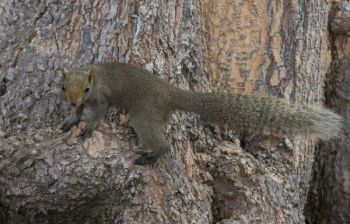Squirrels will stay put when treed by two hunters standing on either side of a tree, but when one hunter circles the trunk, the squirrel will often give himself away.