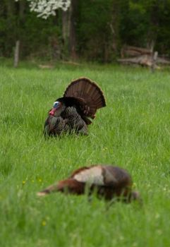 A gobbler showing off for a hen is unlikely to leave and head off in the direction of any hen calls from birds that he can't see.