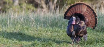North Carolina's turkey season opens April 8, and the NCWRC offers some reminders for hunters chasing the big birds.