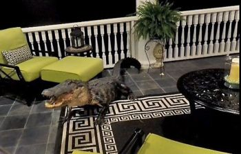 This big gator was an unwelcome visitor at a golf course home in Mt. Pleasant, S.C. last week.