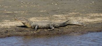 It's time to apply for your South Carolina public and WMA alligator hunting tags.