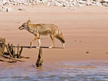 Fontaine Charters spotted a coyote while on a fishing trip near Edisto Island.