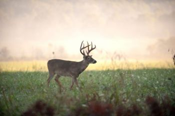 The NCWRC is seeking public input on whitetail deer management from North Carolina hunters.