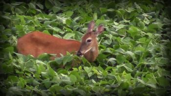 A system of trail cameras set up around field edges and approaching trails can give hunters an up-close look at their local deer herd long before the season opens.