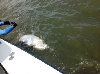 Tarpon usually begin to arrive in the waters around North Carolina's Cape Fear on the full moon in July.