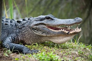You must apply online by 11:59 p.m. to be considered for an alligator tag for South Carolina's 2017 season.