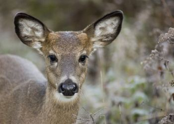 Button bucks are considered antlerless deer by the SCDNR, and hunters must use antlerless deer tags when killing one.