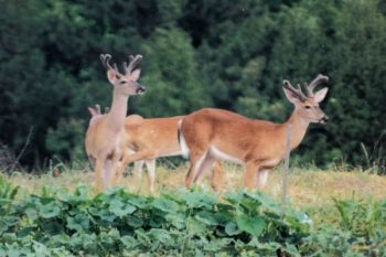Find bachelor groups of bucks before the season opens and you'll have a leg up on filling that first tag or two.