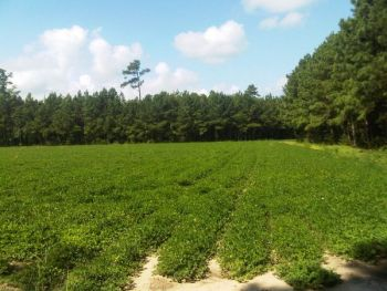 Agricultural crop fields are prime late-summer feeding areas for deer, and hunters should have them high on their list for early season outings.
