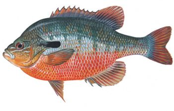 The redbreast is the most colorful of the sunfish family.