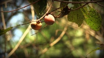 A persimmon tree can be a real deer magnet when its fruit begins to ripen early in fall.