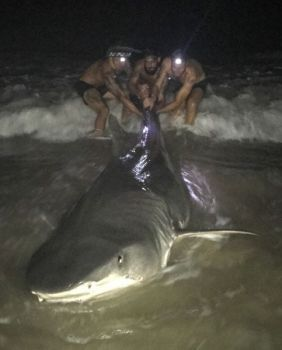 David Schmidt and the Get Bent land-based shark-fishing team caught this 12-foot-3 tiger shark from the beach at Topsail Island.