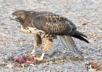 Orangeburg attorney Charles Williams pleaded guilty to killing seven red-tailed hawks that were preying on his quail coveys.